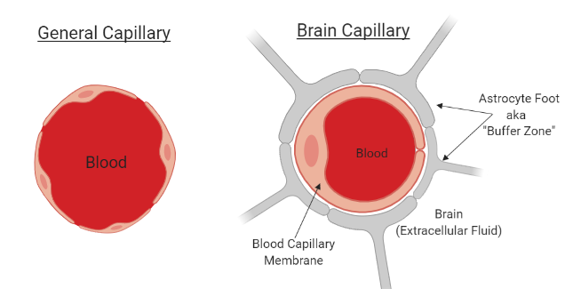 Figure 1: Differences in capillary structure in the body (left) vs. in the brain (right). Made using BioRender